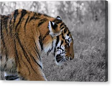 Stalking Tiger Canvas Print by Dan Sproul