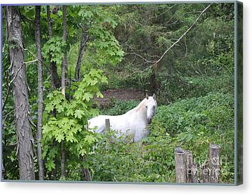 Stallion On Independence Day Canvas Print by Patricia Keller