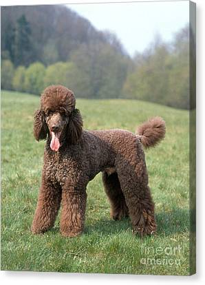 Standard Poodle Canvas Print by Hans Reinhard/Okapia