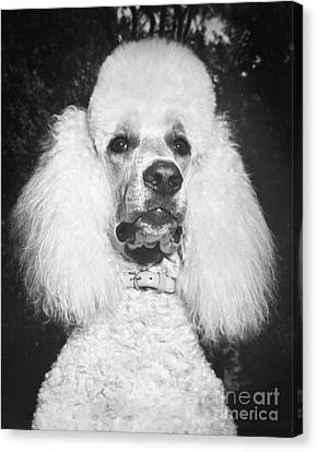Standard Poodle Canvas Print by ME Browning