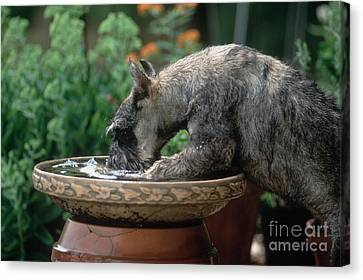 Standard Schnauzer Drinking Canvas Print by James L. Amos