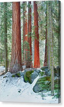 Standing Tall - Sequoia National Park Canvas Print by Sandra Bronstein