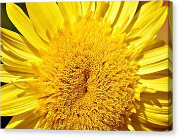 Starburst Lemon Aura Canvas Print by Julie Palencia