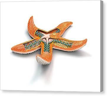 Starfish Anatomy Canvas Print by Mikkel Juul Jensen