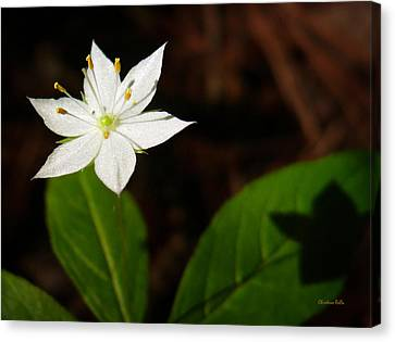 Starflower Canvas Print by Christina Rollo