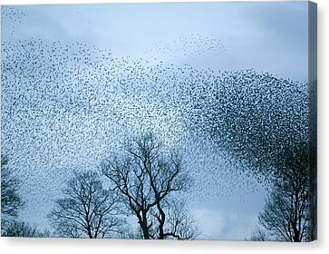 Starlings Flying To Roost Canvas Print by Ashley Cooper