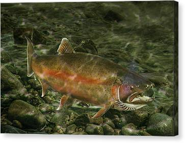 Steelhead Trout Spawning Canvas Print by Randall Nyhof