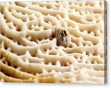 Steganoporella Bryozoan Canvas Print by Natural History Museum, London