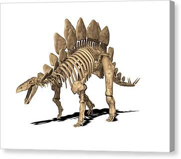 Stegosaurus Skeleton Canvas Print by Friedrich Saurer