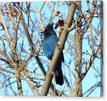 Stellar Jay In Winter Canvas Print by Will Borden