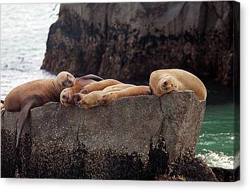 Steller Sea Lions Canvas Print by Jim West