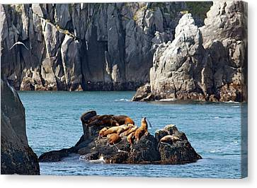 Steller Sea Lions On Coastal Rocks Canvas Print by Jim West