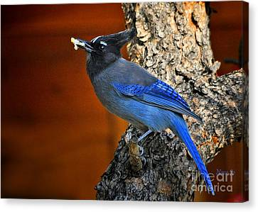 Steller's Jay In Colorado Canvas Print by Nava Thompson
