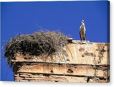 Stork Nesting In Winter On The Chellah Canvas Print by Adam Sylvester