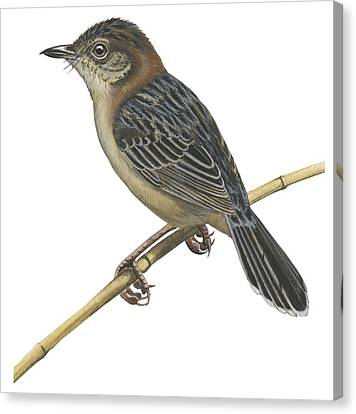 Stout Cisticola Canvas Print by Anonymous