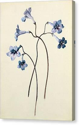 Streptocarpus Canvas Print by German School