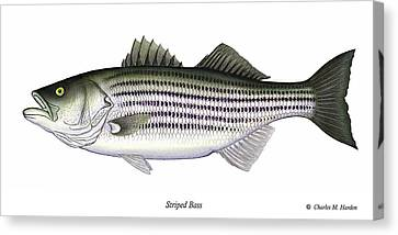 Striped Bass Canvas Print by Charles Harden