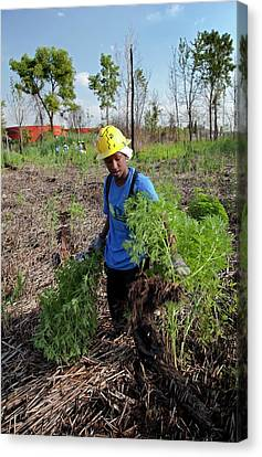 Student Removing Invasive Plants Canvas Print by Jim West