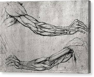 Study Of Arms Canvas Print by Leonardo Da Vinci