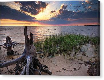 Stumps And Sunset On Oyster Bay Canvas Print by Michael Thomas