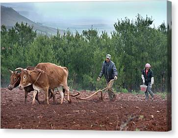 Subsistence Farmers Ploughing A Field Canvas Print by Tony Camacho