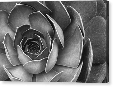 Succulent In Black And White Canvas Print by Ben and Raisa Gertsberg