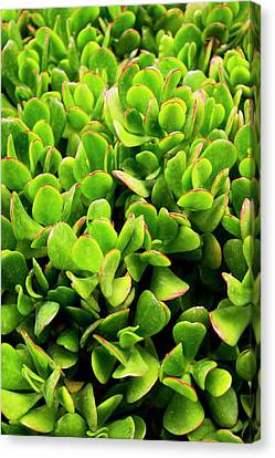 Succulent Plant In Morocco Canvas Print by Mark Williamson