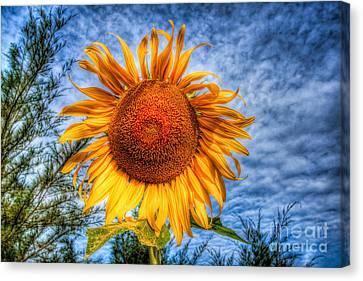 Sun Flower Canvas Print by Adrian Evans