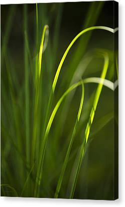 Sun-kissed Grass Canvas Print by Christina Rollo