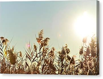 Sun Shining Over Reed Grasses Canvas Print by Tetyana Kokhanets