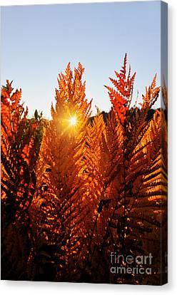 Sun Shining Through Fern Canvas Print by Dan Friend
