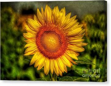 Sunflower Canvas Print by Adrian Evans