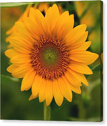 Sunflower Canvas Print by Amy Warr