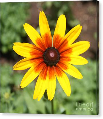 Sunflower At Full Bloom  Canvas Print by John Telfer