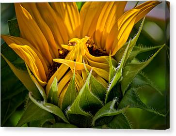 Sunflower Canvas Print by Bill Wakeley