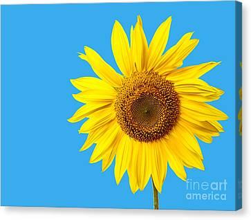 Sunflower Blue Sky Canvas Print by Edward Fielding