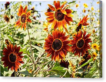 Sunflower Cluster Canvas Print by Kerri Mortenson