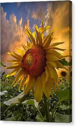 Sunflower Dawn Canvas Print by Debra and Dave Vanderlaan