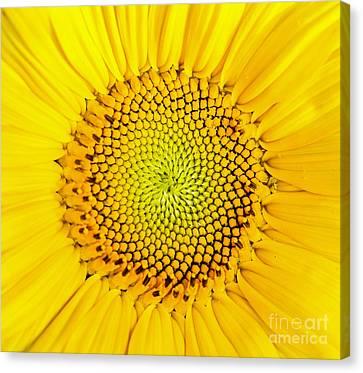 Sunflower  Canvas Print by Edward Fielding