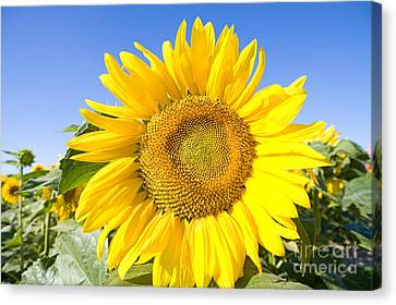 Sunflower, French Provence Canvas Print by Adam Sylvester