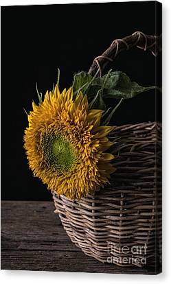 Sunflower In A Basket Canvas Print by Edward Fielding