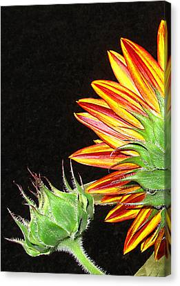 Sunflower In The Making Canvas Print by Joyce Dickens
