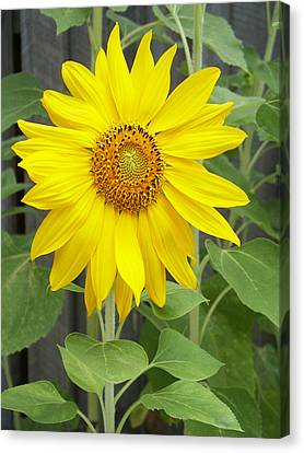 Sunflower Canvas Print by Lisa Phillips