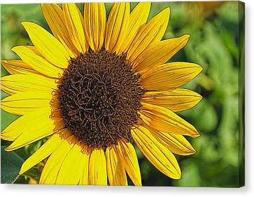 Sunflower Painting Canvas Print by Alan Hutchins