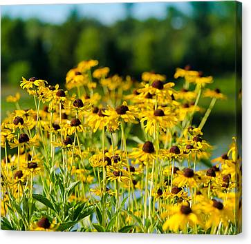 Sunflower Patch Canvas Print by John Ullrick