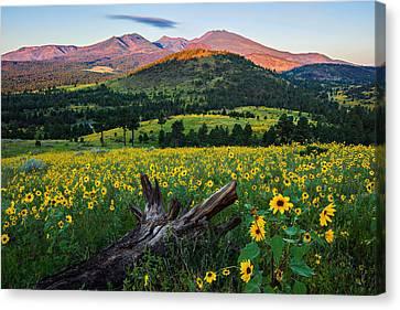 Sunflower Power Canvas Print by Guy Schmickle