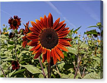 Sunflower Sky Canvas Print by Kerri Mortenson