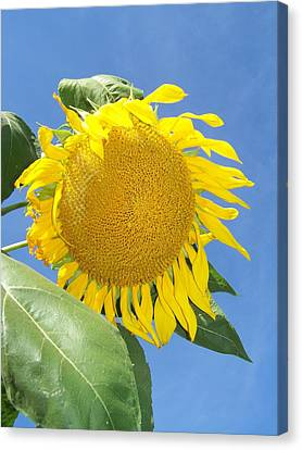 Sunflower Sky Canvas Print by Noreen HaCohen
