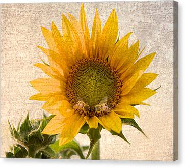 Sunflower - Sun Kiss Canvas Print by John Hamlon
