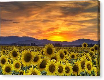 Sunflower Sunset Canvas Print by Mark Kiver